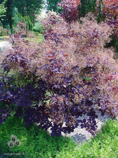 Parykbusk - Cotinus coggygria 'Royal Purple'